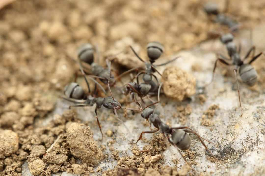 Ant Control: Keeping the Pesky Bug at Bay