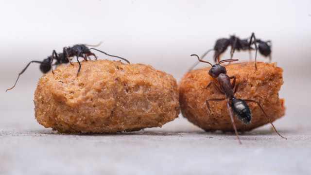 Common Questions about Ants in the House