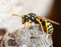 Bee and Wasp Control: Safely Get Rid of Those Stinging Pests