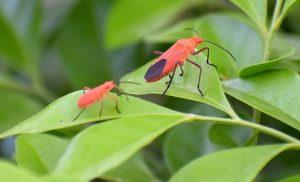 box-elder bugs on leaf.