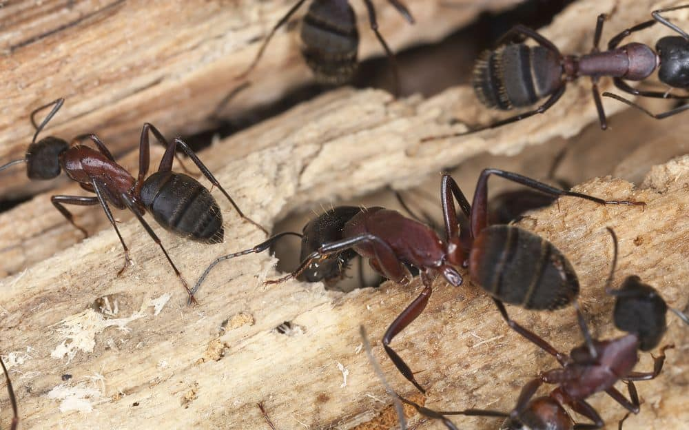 Signs of a Carpenter Ant Infestation — As Told by Langley Pest Control Experts