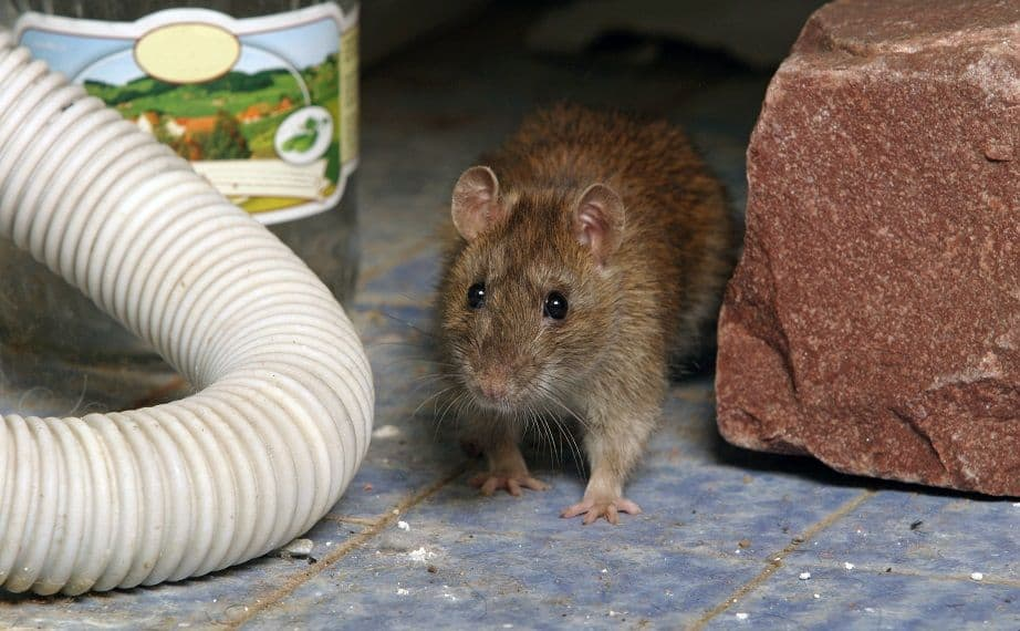 How to Get Rid of Rats In Your Home (And Keep Them Away)