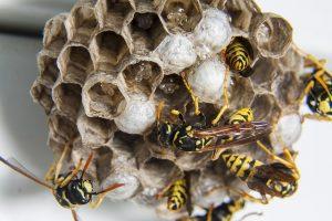 Wasp nest closeup