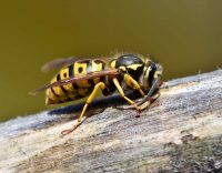 What You Should Know About the Summer Wasp Season